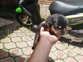 Open booking puppy rott 3 jantan 1 betina