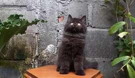 Kucing persia medium jantan blacksolid lucu