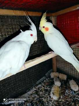 Eno and common white parrot Red eye