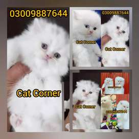 Dashing Eye kittens are available