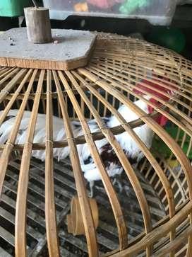 Ayam hias (Ayam ketawa)