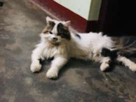 Good quality persian cat for sale
