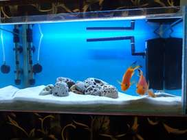 Red Parrot Fish pair 2000 (healthy condition)