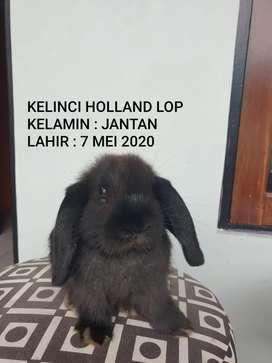 KELINCI HOLLAND LOP