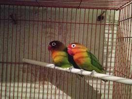 Lovebird pasangan resmi sudah 2x produksi