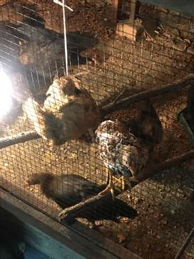 Ayam Kampung Umur 3 bulan