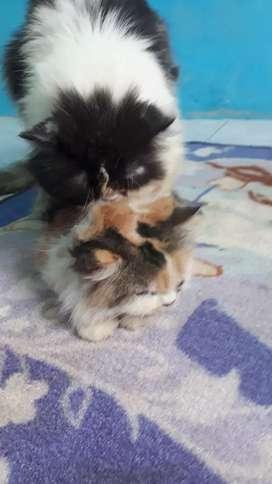 Kucing jantan siap kawin