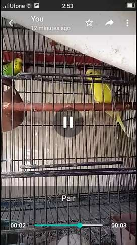 4 breeder pair Australian parrot for sale.