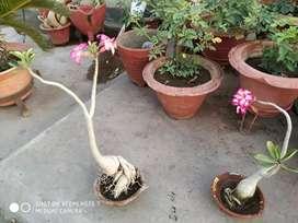 It is a Adanium plant