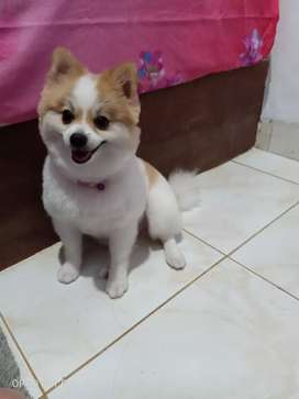 Anjing pomeranian 1tahun 8bulan