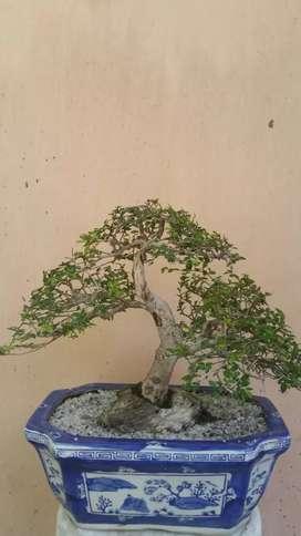 pohon hias bonsai