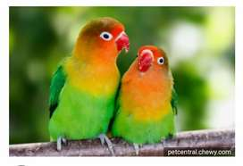 2 pasang Burung lovebird.