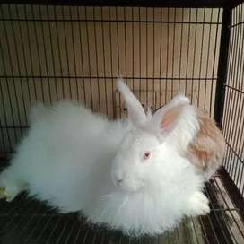 gaint angora rabbit 3 females