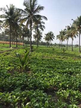 Agricultural land/agriland/agriculture land/coconut farm/farmland/land
