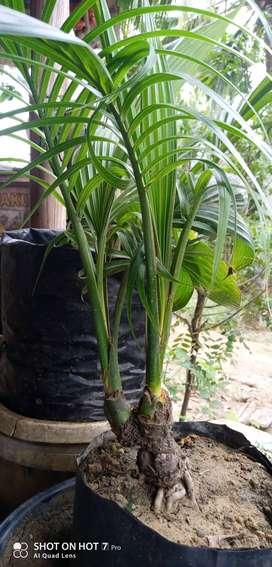 Bibit Bongsai kelapa bercabang