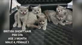 Kucing BSH PED CFA