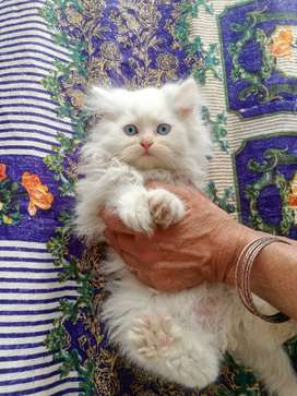 Triple Coated, Semi-Punched - White, Chocolate & Tabby Persian Kitten
