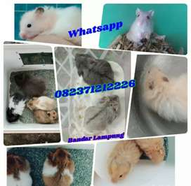 Hamster syrian. Campbel. Winter white