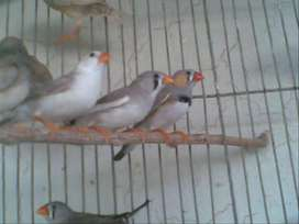3 breeder pairs of finches for sale
