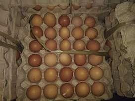 Telur ayam coklat