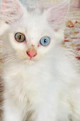 Punching face persian kitten