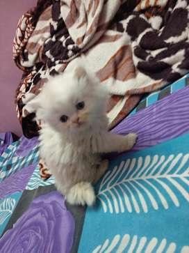 Persian kitten availabe