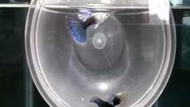 Jual Guppy hb blue