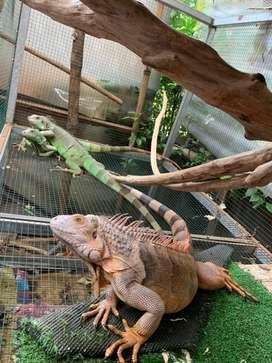 Di jual Iguana sepasang [NEGO]