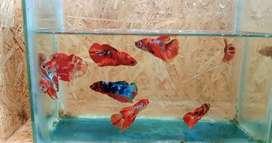 Ikan cupang Nemo galaxy, multi n koi galaxy