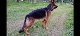 German shepherd (NOT FOR SALE) Available for Stud (Matting)