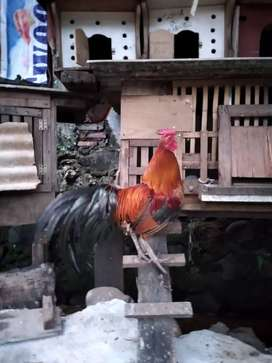 Jual borongan 2 ekor ayam kampung