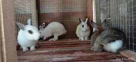 Jual murah Pejantan kelinci mini/netherland dwarf