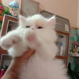 """PUNCH FACE KITTENS AVAILABLE*"""""""