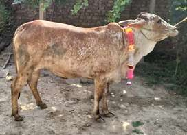 Young Cow bakra