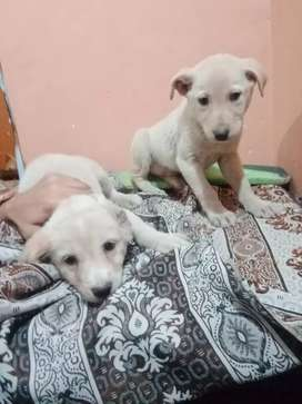 Labra dog for sale full pair male and female