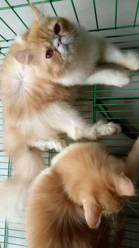 kecing persia peaknose