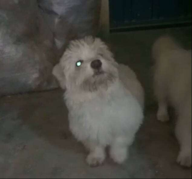 Russian poodle super quality male puppy