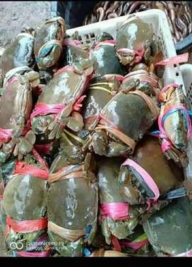Kepiting Bakau Mati