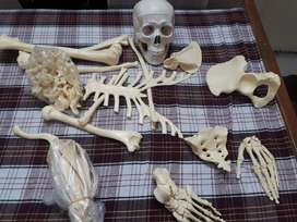Anatomy bone set skeleton