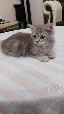 Kucing Persia Kitten Bulu Longhair