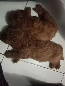 Dijual redtoy poodle