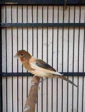 Burung kenari aril
