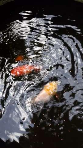 Ikan mas koki merah