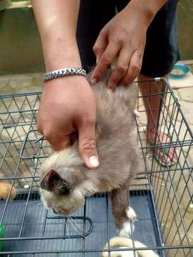 Kucing betina usia 5bulan .
