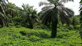 Jual Kebun Kelapa Sawit 712 hektar