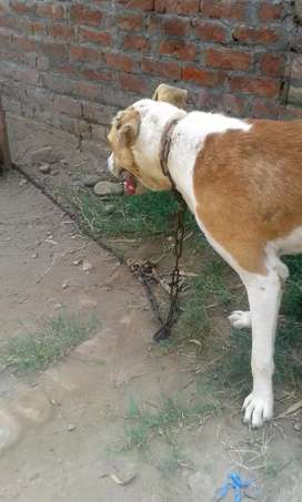 Beautiful dog for sale in jehlam...only 13000..male dog his name is DA