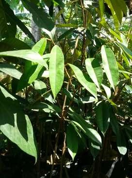 Bibit durian musang king Montong dan bawor