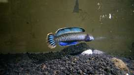 Channa andrao male 12 cm