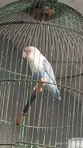 Love bird blue ice kota Cirebon