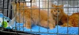 Kucing persia istimewa